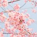 日本人と桜の歴史について調べてみた